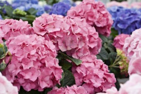 844899-a-multi-colored-hydrangea-background-with-shallow-depth-of-field